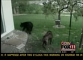 Dog and Bear Caught on Camera in Back Yard Confrontation