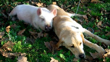 Captured: Dog and Pig on the Run