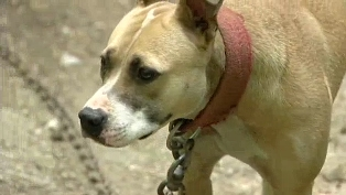 33 Dogs Rescued from Fighting Ring in Polk County, GA