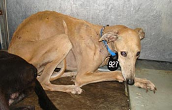 Going Flat Out for GALT and Greyhounds Unlimited: A Plea For Help