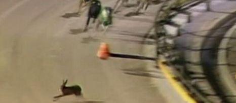 Nothing Like the Real Thing: Daring Rabbit Crashes Greyhound Race