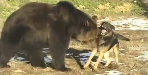 Interspecies Fun: Grizzly and Dog Playdate