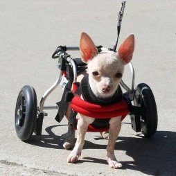 Paralyzed Dog Finds New Home, New Wheels