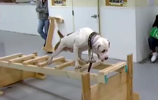 Pit Bull Rehabilitation