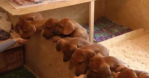 German Wonder Dog Gives Birth to 17 Puppies