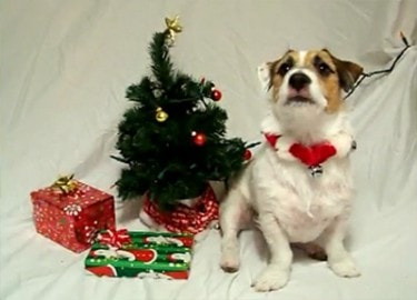 A Jack Russell Christmas