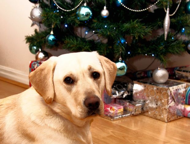 Poppy Goes Home: Happy Ending for Battered Lab