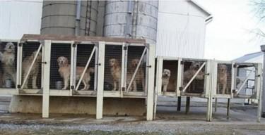 Breeding dogs in a Pennsylvania puppy mill - www.mlar.org.  (PRNewsFoto/Main Line Animal Rescue)