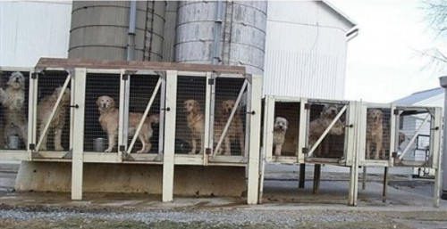 Breeding dogs in a Pennsylvania puppy mill - www.mlar.org.  (PRNewsFoto/Main Line Animal Rescue)