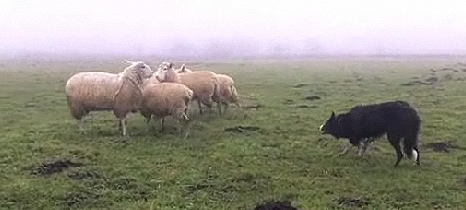 Sheep for Rent: Entertainment For Bored Border Collies