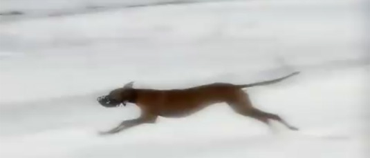 Snow Greyhounds Take Flight