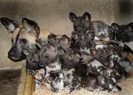 Brookfield Zoo Home To 10 New African Wild Dog Pups Life