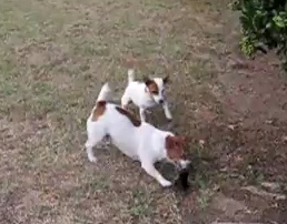 Jack Russells Have a Blast