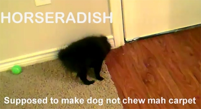 The Spicy Pom: Dog Meets Horseradish
