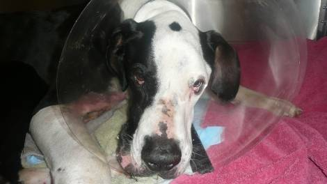 Great Dane Rescued from Ravine After 16 Day Ordeal