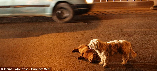 Ultimate Loyalty: Dog Risks Life on Busy Highway to Stay with Injured Friend