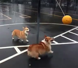 Corgi Tetherball Match