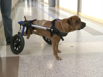 Duke in Recovery: Special Dog Seeks Special Home