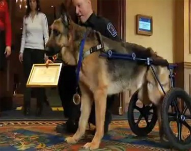 Hero Award: Major Recognition for Injured Police Dog