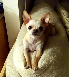 The Saturday Pet Blogger Hop/The Chatty Chihuahua
