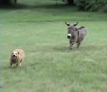 sheer fun - dog and donkey play tag
