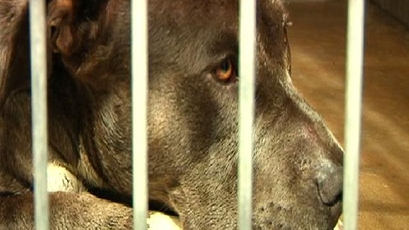Pit Bull Survives Carjacking, Ejection in Fiery Car Crash