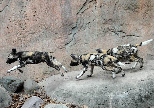 African Wild Dog Pups Debut at Brookfield Zoo