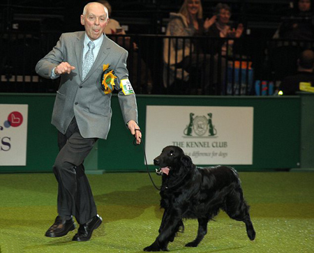 Flatcoated Retriever Takes Best in Show at Crufts