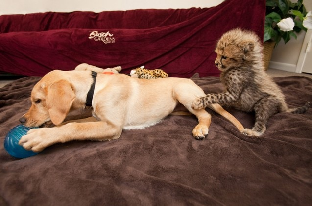 Kasi and Mtani: A Dog and a Cheetah Shack Up