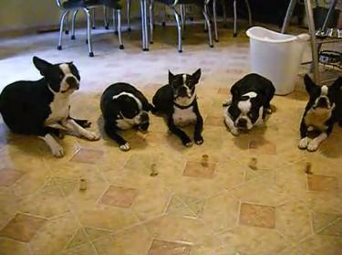 Boston Terriers Gone Wild