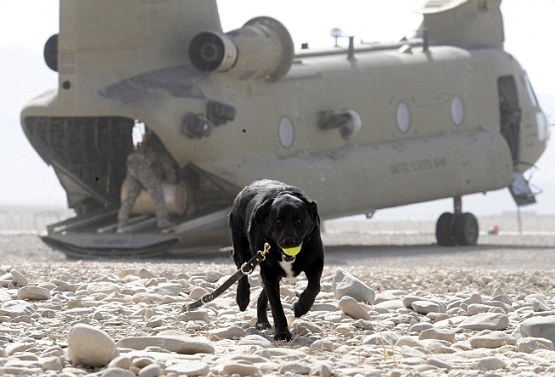 Sarbi Awarded RSPCA Purple Cross Medal for Service in Afghanistan
