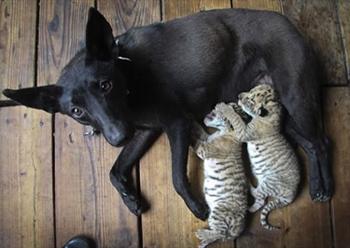 Dog Raises Liger Cubs