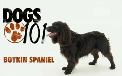 Dogs 101- The Boykin Spaniel