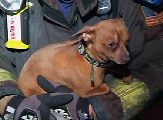 Chihuahua Found Alive in Fire Ruins