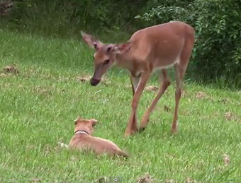 Dog Plays With Deer in Back Yard Encounter