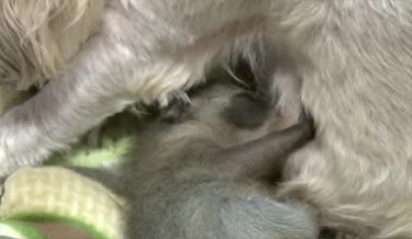 Adorable Adoption: Rescued Dog Rescues Baby Raccoon