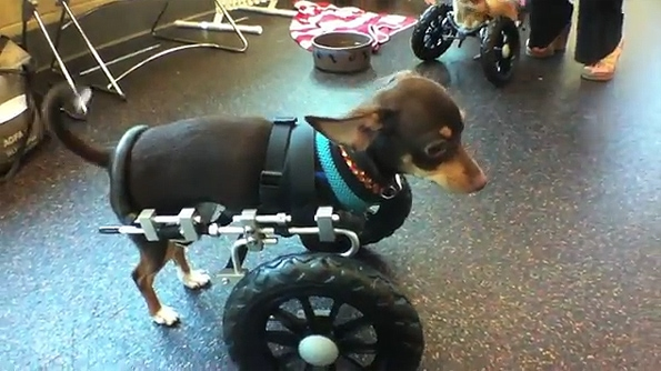 Two-legged Chihuahuas Get New Wheels