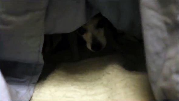 Cute Little Digger Dog Burrows Into Bed