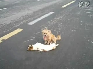 Dog Couple: Road Tragedy in China
