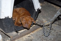 dog fighting operation busted