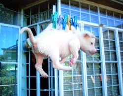 dog hung out to dry