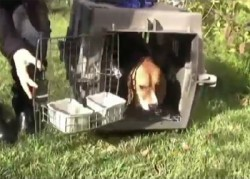 lab beagles freed