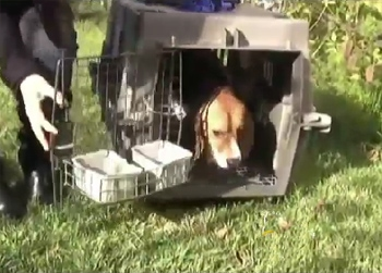 Beagle Freedom Project Rescues Nine Dogs From Research Lab