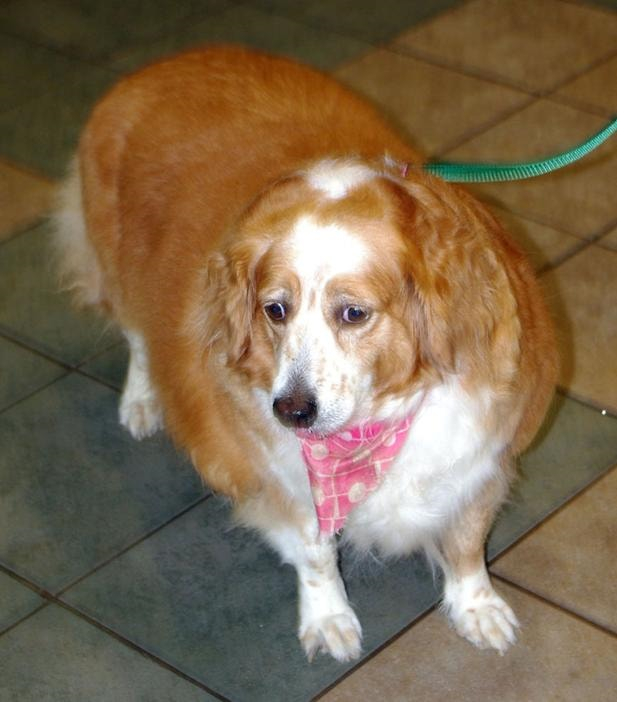 Lost Dog Comes Home Five Years Later, Thirty Pounds Heavier