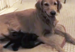 Mother Dog Adopts Two Kittens