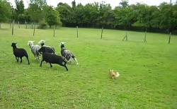 Two Pound Chihuahua Herds Sheep