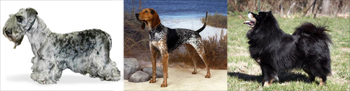 Three New Breeds Recognized by American Kennel Club