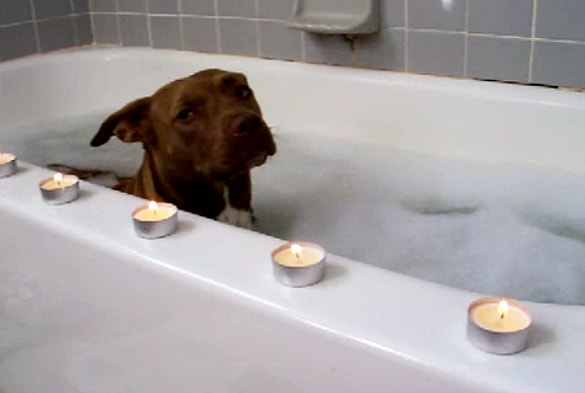 A Pit Bull's Royal Bath