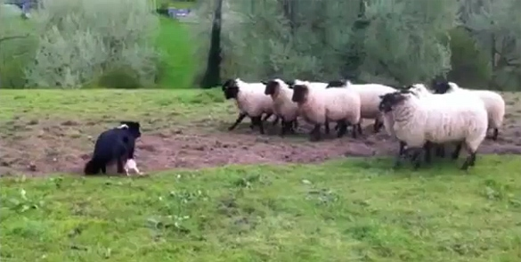 Britain's Worst Sheep Dog Herded by Flock
