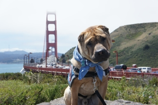 Dogs Walk the Golden Gate Bridge